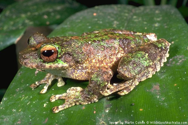 green-eyed-treefrog